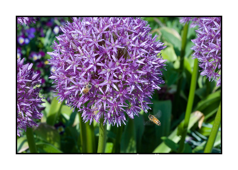 A giant allium and a bee in the air; view the detail in the largest sizes.  I'm really pooped.  It has been a busy week from a photographic standpoint.  I've got lots of shots yet to process.  I'm excited, though.  I have my first photoshoot with a model tomorrow morning.  I've spent most of the day getting prepared for it.  I hope it goes well.  My granddaughter has her ballet recital this evening, so we'll be going up to Denver for that.  Hope you all have a great Saturday and can have some sun and fun!  Thanks for the comments on my Thunderbirds shot and thanks, especially, to Kurt Preston for his advice on shooting future air shows.