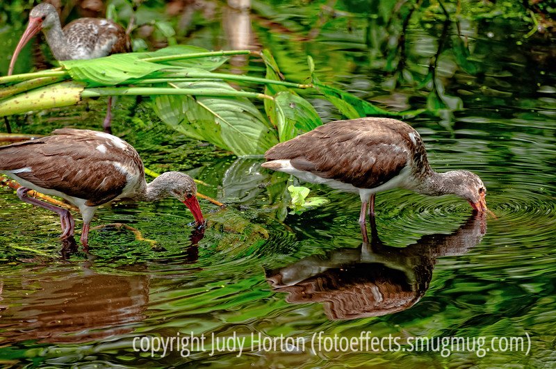 Juvenile white ibis at Corkscrew Sanctuary in Florida; best viewed in the largest size.  Still working on reprocessing the Everglades shots.<br /> <br /> Thanks for the comments on my shot of the pyracantha berries, as well as the comments on several of my older shots that turned up today.<br /> <br /> Hope you week gets off to a good start!