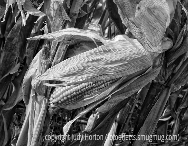Corn; best viewed in the larger sizes.  I liked the color version of this one, too, but decided to post the b/w.  This was in the corn maze at the Chatham Pumpkin festival.<br /> <br /> Thanks for all your comments on my sc shot of the pumpkin.  Really made my day, which was not too good otherwise!<br /> <br /> Have a good weekend.  We're supposed to have lovely weather.