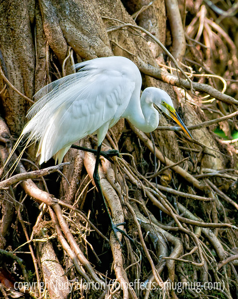 Great white egret at Corkscrew Sanctuary in Florida; best viewed in the largest sizes.  As I was reprocessing the Everglades pics, I found this one that I had not even processed and it is actually one of my favorites, I think.  I like the detail and position of the egret, but also the detail of the tree roots.<br /> <br /> Thanks so much for your nice comments on my shot of the tri-colored heron.  I treasure every one!<br /> <br /> Have a good week!