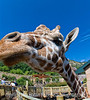 Curious Giraffe - Photographed at the Cheyenne Mt. Zoo in Colorado Springs.  In my opinion, the giraffe enclosure at the zoo is one of the most interesting to visitors, as you can purchase crackers from a vending machine and feed them to the giraffes.  You are right at the level of their heads, so it is a neat perspective.  It is a large area and the zoo has a lot of giraffes, young and old.  This fella was hoping for a cracker and wanted to check out my camera.  It it 11:00 p.m. and I just got home from shooting the wedding.  I'm anxious to look at all the hundreds of shots I took, but not tonight...just too tired.  Hope everyone has a good day...we're going to the annual Parade of Homes.  It is always lots of fun to look at the houses and furnishings.  Taken with a fisheye 10mm lens.