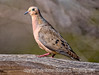 A mourning dove; best viewed in the largest sizes<br /> <br /> I appreciated all the nice comments on my shot down the corrider at the outdoor mall in Sedona, especially given all the wonderful photos on smugmug today.  Hope you are having a great photographic weekend!
