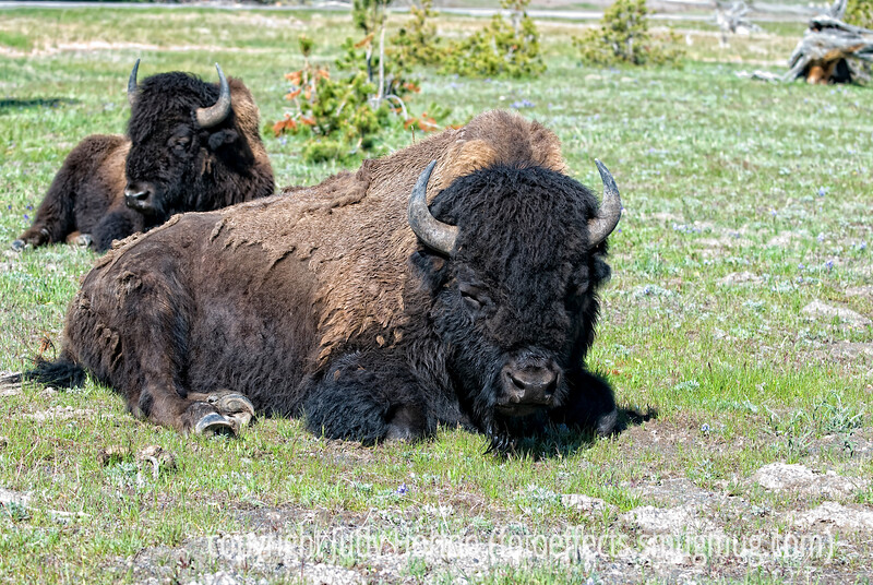 Bison lounging near Old Faithful in Yellowstone National Park in Wyoming; definitely best viewed in the largest sizes.  Never thought it would happen, but we did eventually get rather blase about seeing the bison.  At the end of our trip, we did not get excited about them unless they were quite close to us.   These guys were the first bison we saw.  They were lying about five feet from the walkway that took you from Old Faithful to the Yellowstone Inn.  You are not supposed to get within 20 feet of bison, but we decided that it was probably safe since they were lying down.  We were ready to hurry away if they showed signs of getting up.  This is probably not my best shot of a bison in the park, but I like it because of the detail you can see in the largest sizes.  Hope you enjoy it.<br /> <br /> What a grand welcome back to have my pic of the mother and baby moose #1 for the day.  Sure made me feel great!  Thanks so much to everyone who commented or gave the shot a thumbs up.<br /> <br /> A bit more background on our visit to Yellowstone.  We spent seven days there and three days in the Grand Tetons.  We were camping in our little RV and our kids were tent camping.  The campgrounds where we stayed did not offer electric hookups and we had a problem with our battery in the RV.  Anyway, to get electricity for operating a computer or charging a camera battery, we had to run our generator.  The park regulations only allow you to run a generator between 8 a.m. and 8 p.m.  Because we were running around seeing things all day every day, usually leaving by 7 a.m. and getting back around 6 p.m., that left very little time to run the generator and charge all our camera batteries.  As a result, I generally had to upload the pics from the camera to the laptop using laptop battery.  Since I would, on average, fill about five 4GB cards each day --- I was carrying two cameras with different lenses --- it would use up most of my battery just getting everything uploaded.  I have to admit that I had a bit of Internet withdrawal.  The main visitor center in the Grand Tetons did have wifi, but I did not have my laptop with me when we visited there.  <br /> <br /> Visiting the Grand Tetons and Yellowstone in early June does subject one to colder weather in general.  We were snowed on about half of the days we were there, although it usually wasn't significant enough to curtail our activities at all.  It did make sitting around a campfire a bit less pleasant and we tended to go to bed pretty early.  Incidentally, because of where the parks are located in the West, it did not get dark until a bit after nine o'clock at night.<br /> <br /> Well, I've bored you enough with the details of the trip.  Hope everyone is having a good week with nice weather.  It has been beautiful, though windy, here in Colorado.