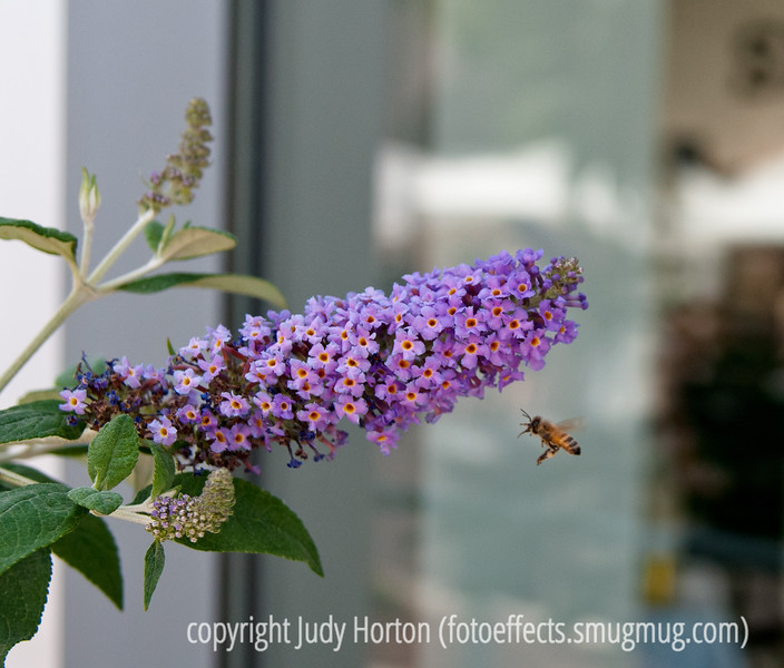Bee and buddleia; best viewed in the largest size.  From the archives.<br /> <br /> Thanks for your comments on my shot of the girl with the money.  After about a week of gorgeous weather, it has turned cold and windy.  I'm heading up to Denver this morning and I've heard that spring is arriving there, so I hope to grab a few shots.  Have a great day!