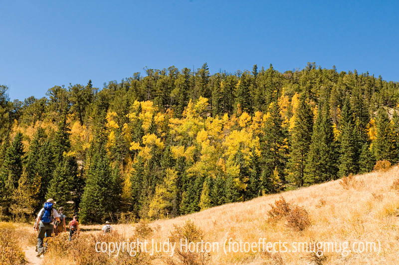 Aspens display glorious yellows and golds in the autumn in Colorado along the trail to the Crags.  This is fairly typical of autumn in Colorado.  Our colors are mainly yellows and golds from either aspens or cottonwoods.   As they are here, the aspens are often mixed in with various evergreens, so you get nice contrasts.   I took this shot a bit over a month ago on a hike our whole family took up to the Crags, a gorgeous spot.  However, I just processed these shots today.  So, I thought I'd give you a break from all the Grand Canyon shots.<br /> <br /> Thanks, incidentally, for all your comments on my Grand Canyon shot today.  Most of the shots of the canyon were taken with my 24 - 70mm lens, which is my all-purpose lens.  However, the shot I posted today was taken with a wider angle 17 - 24mm lens.  Thursday, already.  How the weeks whiz by.  Of course, time is relative and for those of us who are older, it probably seems to go by faster.  Funny, isn't it, that as you age, time seems to accelerate.  You'd think it would slow down as we slow down.  Oh, well, hope your Thursday is a good one!