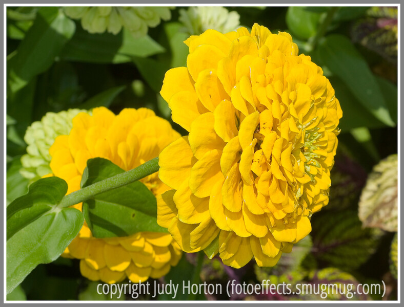 Day 6 - A yellow zinnia
