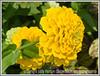 Day 6 - A yellow zinnia