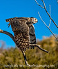 1/18/13 - Great horned owl<br /> <br /> Thanks so much for your comments on my shot of the coyote.  What an amazing variety of shots today on smugmug!  I really enjoyed browsing through them.  You guys sure know how to keep me inspired!