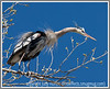 """Day 14 - This great blue heron's feathers are in the """"threat detected"""" position.  It is guarding its nest and has just seen another great blue heron approaching.  Its eyes bug out and the feathers around the neck stand out.  This bird is nesting in a huge sycamore in Sedona, AZ."""