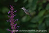 8/21/12 - Hummingbird in the early evening at the agastache. Definitely better viewed in the largest size.  Although this is not the sharpest hummer shot I've taken, I do like the late evening light.  Although there was late evening light on the hummer and flower, the light was still quite low.  Nonetheless, I kept the shutter speed at 1/1000th second, even though the camera indicated that was much too fast for the available light.  I figured I'd have lots of noise, but there really wasn't a lot of noise in the image.  Because of the low light, the wings are pretty much a total blur.  I'll be glad to hear what you all think about this one.  I think if I'd dropped the shutter speed to 1/320th sec., which was what the camera would have preferred, I would have just gotten a total blurred image.<br /> <br /> Thanks for your warm response to my bunny shot.  You all gave me too much credit.  I just happened to be in the right place at the right time to get that light.  I'd just shot this hummer and turned around and saw the bunny creeping out onto the lawn.  Although is is important to hone our skills in photography, I'm always amazed at how much luck figures into capturing wonderful images.  Of course, you need to have your camera with you and, as much as possible, put yourself into situations and settings where you have a chance of getting good shots, but serendipity never hurts!<br /> <br /> Have a great day!  Constructive criticism is always welcome.