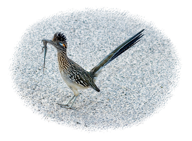A roadrunner who has just caught a lizard, photographed in Big Bend National Park in Texas.  This little guy would come out to hunt every single afternoon behind the line of RVs in the Big Bend campground.  For this picture, he let me get within about five feet of him.  He had caught this lizard in the grass and he evidently did not want to eat it there, so he took off across the asphalt road.  He was making little moaning sort of sounds as he was carrying it.  Every little bit he would stop for a second and make this sound.  We saw quite a few roadrunners in Big Bend and all the others were quite a bit larger than this fella.  Thanks for the comments on my kite boarding picture.  Have a great day!