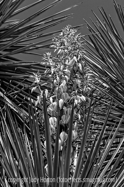 A yucca in bloom; best viewed in the largest sizes<br /> <br /> Sorry I did not get too many comments in today.  I have been sicker than I remember ever being.  I had a short-lived stomach bug.  I did not even post yesterday.  Happy Mother's Day to all you moms!