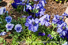 Blue anemones and pansies; please view this image in the largest sizes.  The detail is really nice, I think.  These were photographed at the Boyce Thompson Arboretum near Globe, Arizona.  Nothing is blooming in Colorado Springs, as yet, although I did see a couple of crabapples today that were starting to leaf out, so spring is coming.<br /> <br /> Thanks so much for the comments on the gazania.  They are such spectacular flowers.  My grandson, Spencer, has his tenth birthday party today.  They are doing a theme of Pinewood Derby and his dad has built a regulation size pinewood derby track in their basement.  Spencer and his dad and mom have carved out 15 wooden cars, all different designs, but all weighing exactly the same.  Each is painted a different color.  Each kid will get to choose the wheels for one of the cars which they will race and then get to keep.  His dad has also made a huge spirograph, which I hope to get some shots of to share.  Quite an amazing contraption.<br /> <br /> Do something fun and relaxing this weekend.  Hope your weather is as nice as ours is supposed to be.  I'll catch up on all your shots in the evening.  It seems like everyone has really been inspired by spring lately.  So MANY fantastic images!