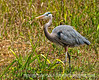 Great blue heron; best viewed in the largest size - another of the reprocessed Everglades shots.  I have to admit I find these birds to be endlessly fascinating.<br /> <br /> Thank you for all the comments on my shot of the red autumn leaves.  There were quite a number of autumn leaf shots on smugmug today...amazing how many different interpretations of this similar theme there can be!  <br /> <br /> Have a good day!