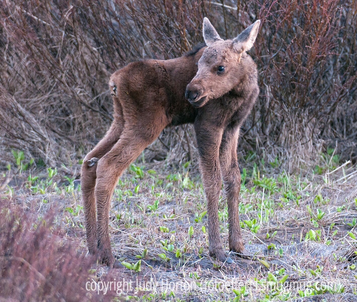We think this baby moose calf was just recently born, because his legs still seem wet, he had lots of difficulty walking, and he has a plug of some sort in his rear that we are guessing may be associated with a very recent birth.  He was one of two babies with his mother.  The other could walk a bit better, so may have been born just a bit earlier.  Best viewed in the largest sizes.<br /> <br /> We just returned from our short camping trip.  We camped along the Cache le Poudre River near the Northpark region of Colorado.  The Cache le Poudre was running at flood stage due to all the runoff from the heaviest winter snowpack in many, many years.  It was beautiful and a bit frightening.  We had driven up to a meadow where you were supposed to have a good chance of seeing moose and had waited for over an hour in the dusk.  We saw only one moose and from about a quarter of a mile away.  We'd given up and were driving back to our camp when we spotted the mother moose and her two tiny calves not far from the road.  Mom was unperturbed by us and let us photograph her and her babies for about fifteen minutes.  The lighting was difficult as it was close to dark.  I was using my 400 mm lens for this and it needs a lot of light.  I had to drop the shutter speed to 1/60th second to get this shot.  I was surprised it was so sharp, given the slow speed.<br /> <br /> I hope you folks had a great weekend, too.