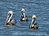 Another of my reprocessed Everglades shots.  I liked the sort of sly and coy looks of the pelicans here.  I also liked the position of the grouping.<br /> <br /> Thanks so much for your nice comments on my Christmas card!  I wish you all the joys of the holiday season!