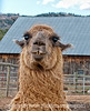 Llama; best viewed in the largest size.  I took this shot a few weeks ago but somehow failed to upload the images of the llamas (except for one) until tonight.  I thought this guy was really sweet looking.  Even though I was quite close to them, none of the llamas spit at me.<br /> <br /> Thanks for the comments on my shot of the reflections in the pool.  I certainly appreciate your taking the time to stop and comment.  Also, thanks to those of you who have been commenting on other shots of mine over the last few days.<br /> <br /> The week is speeding by.  Hope you are having a good one!