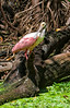 Roseate spoonbill at Corkscrew Sanctuary in Florida; best viewed in the largest size.  I love the red eyes these birds have, as well as their striking coloring elsewhere.<br /> <br /> I appreciated the comments on my shot of the aspen leaves with snow.  Hope your weekend went well.