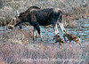 A mother moose with her two calves who appear to have been born within the day, perhaps even within an hour or so.  Best viewed in the largest sizes.  Photographed near the Colorado State Forest Park in the North Park area of Colorado.  As I mentioned on my previous post, it was nearly dark and I cranked up my exposure compensation to the max and slowed the speed down significantly to capture this image.  <br /> <br /> I so appreciate your warm response to my previous daily shot of the baby moose.  You guys are the best!  Hope your week has gotten off to a good start!