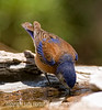 Western Bluebird - I've been archiving a lot of files over the past few days.   As I was going through the files, I found an entire file that I'd shot during the late spring but never processed.  This one of those shot.  We have a rock water feature that has water bubbling up through holes in the moss rock into very shallow pools at the top and the birds love to come here to drink and bathe.  Unfortunately, we situated the rock in a place that is generally quite shady, so it is usually very difficult to get decent shots of birds there.  This was captured when a bit more light was hitting one of the pools and I used exposure compensation and fill flash to lighten the bird even more.  I was pleased to be able to capture the bird actually drinking.<br /> <br /> Looks like our snowstorm is finally over.  We only got about eight inches but the wind blew it into drifts, so we'll have to dig out a bit this morning.  Hope your day is grand!