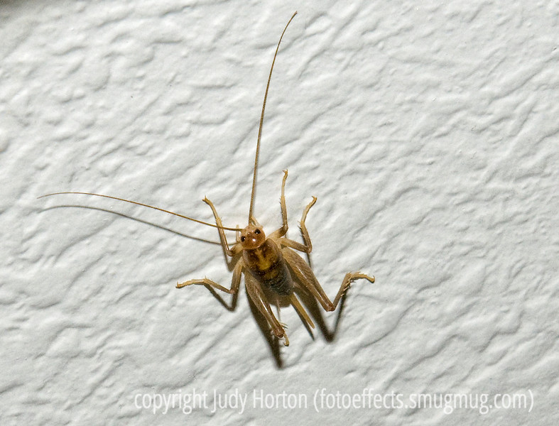 Cricket - captured on the wall of my staircase.  Needs to be viewed in the largest size.<br /> <br /> Thanks to those of you who took the time to stop by and comment on my shot of the Grand Canyon, as well as others of you who commented on some of my other shots.  It is very encouraging.