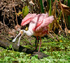 Roseate spoonbill at Corkscrew Sanctuary in Florida; best viewed in the largest size.  I liked this bird's attitude!  I'm reposting this, as it has disappeared entirely from my dailies gallery.<br /> <br /> Thanks for your comments on my shot of the new moon at sunset.  Much appreciated.