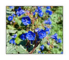 "I don't know the name of this flower of intense indigo blue.  I photographed them at the Desert Botanic Garden near Scottsdale.  They don't grow more than a foot high.  If anyone knows the name, please let me know.  Be sure to look at this one in the larger sizes, as the detail really pops.  Judith Sparhawk has identified these as Desert Canterbury Bells (Phacelia Campanularia).  thanks, Judith!<br /> <br /> No one solved yesterday's riddle, which was ""All that glitters is not gold.""  Here is another:  ""Neophyte's serendipity.""<br /> <br /> We visited the Denver Botanic Garden this afternoon and I think I'll have some nice shots when I get them processed.  However, I am simply too tired right now to think about it and am going to bed.  Hopefully, I'll get up at some point and post this photo.  Enjoy your weekend!"