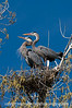 A great blue heron pair checking out the neighbor's nest; best viewed in the largest size.<br /> <br /> I spent about six hours photographing and observing this pair of great blue herons.  They were remarkably atune to one another and often would almost perfectly mimic one another's position and activity.  I'm sure I'll have more photos of these two for my future dailies and hope I won't bore you all with them.  Thanks for the comments on my orchid shot...very much appreciated.  Wow! So many great shots today, but I have to say that my favorite was Chuck and Paula's shot of the green limes...absolutely fantastic!<br /> <br /> Have a terrific day!