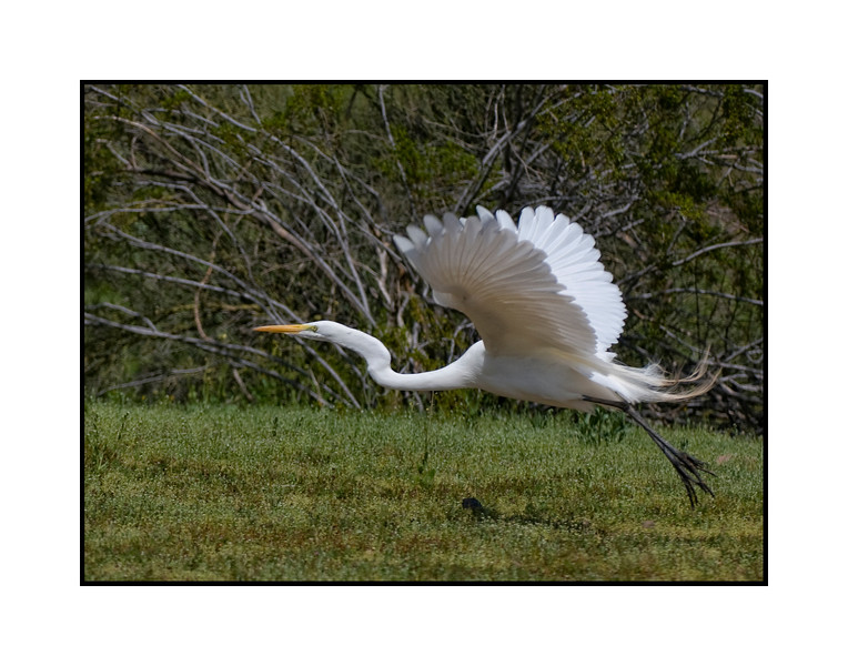 A flying egret; best viewed in the largest sizes<br /> <br /> Thanks for the comments on my shot of the vintage Corvette.  Much appreciated.<br /> <br /> We are taking Buckwheat in to have a growth removed from his chest this morning.  It would normally be a pretty straightforward procedure, but, as he is nearly eleven and has a slight heart murmur, it is a bit more serious and I'm concerned.  He is my sweetie pie and I'd be devastated in anything happened to him.