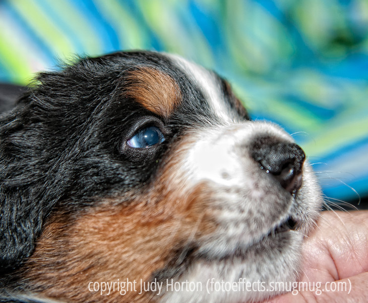 John Roberts says I seem to be in my orange period...hmmm...anyway, my dentist's dog has had a little of puppies that are three weeks old.  I went in to shoot them today and had a difficult time tearing myself away.  This isn't one of my best shots, but I loved the sweet expression on the face of this tiny Burmese Mountain Dog.  His name is Hudson and he is a lover!<br /> <br /> Thanks for all your enthusiastic comments on my orangey jaguar.  You really encourage me to keep experimenting.  Have a great day!