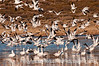 Snow geese taking to the air at Bosque del Apache National Wildlife Refuge in NM; best viewed in the largest size.  I thought this shot has a nice number of geese in the air in reasonable focus.  <br /> <br /> Sounds like everyone had a great St. Patrick's Day!  I went to the doctor to have a place where he removed a small skin cancer checked and then, in the afternoon, there was a fire not too far from our neighborhood.  It was very windy and tinderbox dry here, so everyone was pretty nervous until they got the fire under control.  A barn and grass burned but the forest (ponderosa pines) did not catch fire and they saved the nearby house.  Great work by eight of our local fire departments who responded to the call!<br /> <br /> Thanks for your comments on my shot of the hoarfrost evergreens.  Hope you enjoy your Friday!