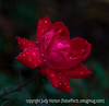 """Raindrops on a rose; best viewed in the largest sizes.  Taken quite a while ago on a rainy day at the shopping center.<br /> <br /> Yesterday was my birthday; thanks for giving me the gift of seeing my shot of the eagle at #1!  What a treat!<br /> <br /> My twelve year old granddaughter gave me a book containing poems she'd written.  As photographers, I thought you all might enjoy this one:<br /> <br />                            Nana's Camera<br /> <br /> In the white snow<br /> People's voices echo;<br /> The melody of rushing water<br /> Is like children's laughter.<br /> <br /> And now, the only sound<br /> Is the """"click,"""" """"click"""" of Nana's camera.<br /> Behind it, Nana, spellbound,<br /> Pointing her camera at the ground.<br /> <br /> Have a great day!"""