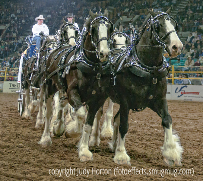 A team of Clydesdale horses pulling a wagon - these horses are stunningly beautiful. Probably best viewed in the larger sizes.   I did find that photographing black horses was generally more difficult in the lower light conditions than photographing white or lighter colored horses.  Also, for teams of horses like this one, the light in the coliseum would vary quite a bit from one part of the team to the other, so it was difficult to expose the whole team properly.  At this point the team was coming almost directly at me at a pretty good clip.  I was sitting on the first row on the floor of the coliseum.  Because I'm short and there were bars in front of me, I ended up spending almost the entire time on my knees peeking through two of the bars.  It was a bit awkward but I did have a pretty good view most of the time.<br /> <br /> Thanks for the positive comments on my shot of the female barrel racer at full gallop.  It must be really thrilling to be going at such a fast pace on top of the horse.  I really enjoyed browsing through the pics today...so much variety!  Enjoy your day!