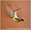 Day 17 - A hummingbird exhibits amazing acrobatic flying skills