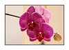 A phalenopsis orchid  bloom from one of my orchids.<br /> <br /> Thanks to those of you who commented on my shot of the Grand Canyon.  I really appreciated your thoughts.  We are leaving Sedona today for Phoenix where we'll be for quite a few days.  Enjoy your day!