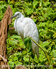 Great white heron at Corkscrew Sanctuary in Florida; best viewed in the largest sizes.  These birds look a lot like the great white egrets, but they have green legs versus black and different eyes and beaks.  Also, I've noticed that in the photographs the heron's feathers tend to have more definition, whereas the egrets feathers are generally smoother.<br /> <br /> Thanks for the comments on my shot of the vocal roseate spoonbill.  Hope your weekend is terrific!