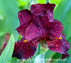 Iris with raindrops; best viewed in the largest sizes.  <br /> <br /> Thanks so much for your comments on my shot of the fly.  It is good, although not at all surprising, to learn that so many of you also take your camera into bathrooms.  We truly are fanatics!<br /> <br /> Enjoy your day!
