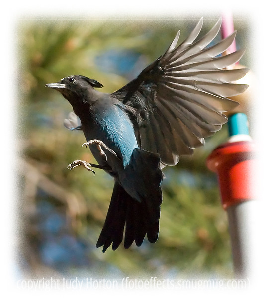 "Day 113 - A stellar's jay, captured in my yard, as it was trying to get peanuts from a wreath peanut feeder.  Although the light was quite bright when I took this shot, using my 400 mm lens at 1/8000th of a second, it was not bright enough to keep the image from being noisy.  I have cleaned up most of the noise because I like the bird's position, but there is still a tiny bit of noise in the image.  We have lots of stellar's jays in the Black Forest of Colorado where I live and a few regular blue jays.  It is almost midnight and I have been processing images almost for eight hours straight.  I'm going to post this and go to bed.  Have a great day!  Thanks to everyone for their comments on my iris and peony images, as well as my image for the ""Liquid"" challenge.  I really appreciate the time you all take to provide feedback and support."