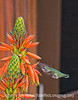12/19/13 - Hummingbird at an aloe flower.  Although this looks quite bright, this was actually very shaded.  I brightened it up in RAW and in Color EFEX.  Thanks for your comments on my shot of