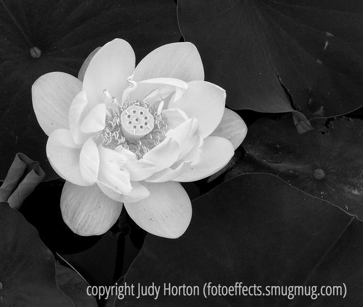 Lotus bloom; best viewed in the largest sizes<br /> <br /> I sure appreciated the nice comments on my shot of the white prickly poppy and the bee in the air.  Hope you have a productive day!