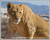 Day 26 - A lioness photographed last spring in a wildlife park.