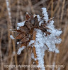 Hoarfrost on the seedhead of a wild sunflower; should be viewed in the largest size.  The detail of the back of the seedhead is pretty nifty, I think.<br /> <br /> Thanks for your supportive comments on my grass seedhead shot, as well as my pano for Art's challenge, which I posted quite late.  We did have a gorgeous springlike day and I'm hoping for another one.  Hope your weather is improving, as well.