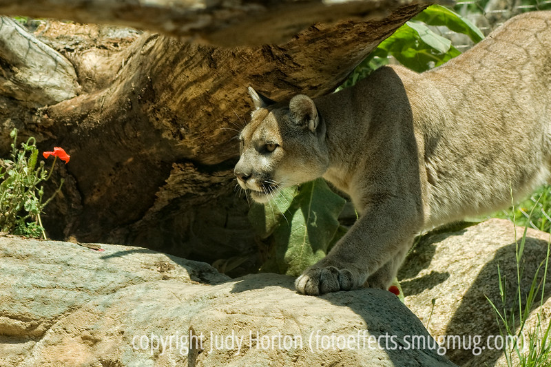 What is that over there, anyway? Mountain lion - Photographed through a dirty and scratched glass at the Cheyenne Mt. Zoo in Colorado Springs.  I've been spending long days lately processing the shots from a wedding.  Sometimes feels like I'll never finish.  Hope your day goes well.