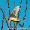 Western meadowlark; best viewed in the largest size<br /> <br /> We just got back from Bosque del Apache in NM.  We had a great time and the birds were amazing.  This shot was actually taken in the yard of the fabulous B&B where we stayed --- the Dancing Cranes Guest House.  The owners have created their own wildlife refuge and I spent quite a few hours photographing birds there.  They had many meadowlarks, which I don't get to see very often.  They are such beautiful birds and amazing singers.  Hope you enjoy this shot!<br /> <br /> I didn't have too much time to comment but I did get quite a few of your shots and was amazed at the quality and wonderful variety.  You folks really outdid yourselves yesterday.  Hope you have a great day!