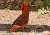 A male cardinal; best viewed in the largest sizes