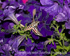 A sphinx moth drinking from the petunias just before total darkness.  He was moving incredibly quickly and I had to use a flash, as it was almost completely dark.  Best viewed in the largest size to see the detail.<br /> <br /> Thanks for the comments on my asian lily.  Much appreciated.  Hope you enjoy your weekend.  I have a job interview today.  Wish me luck!