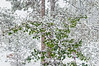 An early October snowstorm piles snow onto an aspen that has not yet turned color.  Best viewed in the larger sizes.  I was expecting a frost last night but was surprised to wake up to a winter scene.  It snowed much of the day and we got about five inches but much of it has already melted.  This was taken through my kitchen window, as it was the only place where I could get this perspective.<br /> <br /> Your kind comments on my shot of the great white heron certainly made my day.  Thanks so much!  Hope you have a wonderful Sunday!