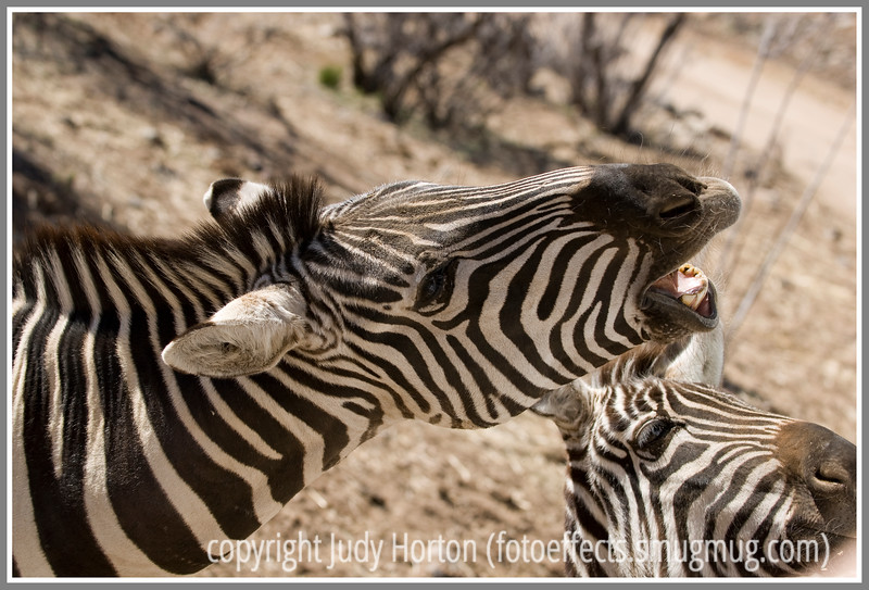 Day 27 - A zebra displays his teeth; this image is best viewed in a larger size