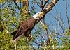 8/10/12 - Bald Eagle; I watched this bald eagle for about an hour and a half, during which it did very little.  About in the middle of that time, it called out about four times.  Finally, as I was about to give up, the eagle finally flew off and made several passes up the Wind River, although it did not catch anything.  I got some flying shots, but I don't think they are as good as this shot.  I was so excited to get this close to the eagle; I've only seen one other and that was from 1/4 mile.  This time I was just across the river from him/her.  It was in the sun and very hot; by the end of the hour and a half, I was trembling from hunching over the tripod for so long.<br /> <br /> We've been traveling back to Colorado Springs for several days and have been without 'Net access.  We'll be here for a month while we have some more repairs made to our RV.  We've been out for six weeks and we've had a great time in South Dakota and then in the Dubois, Wyoming area.  I have to admit I am stressed the entire time we are actually driving the big kahuna down the highways, but, otherwise, we've had a great time.  Adjusting to living in an RV has not been difficult for us.  It is rather like living in a luxury hotel suite.  I've cooked almost all our meals on either our little stovetop, the convection oven, or the portable grill.  Wyoming is a beautiful state; there is a lot more irrigation than I'd expected, so much of it is quite  green.  <br /> <br /> I gather that I missed a discussion about whether or not folks wished to receive constructive criticism.  As one of my main reasons for joining the dailies has been to improve my skills and my photographs, I always welcome constructive criticism.  Any suggestions for ways to iimprove are most welcome!  <br /> <br /> Thanks, as always, for your comments on my shots.  It is good to be back!