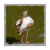 A juvenile white ibis grooms its feathers in the Big Cypress Swamp in the Everglades; in its first summer, the white ibis has this plumage; earlier in the year, its plumage is even more brown.  View in the largest sizes to see the feather and beak detail.  Hope everyone is enjoying their weekend!